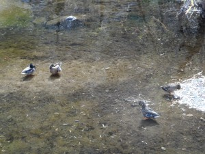 Ducks in one of the pools alongside the road